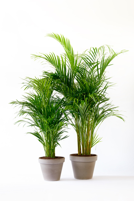 areca plante interieur conseils entretien arrosage blog delbard