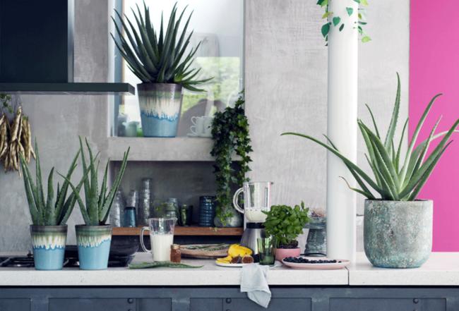 Aloé véra plante intérieur été design astuces conseils plantation soins entretien Blog Delbard