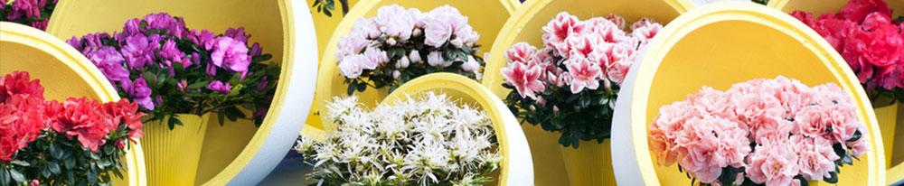 Azalée entretien plantation soins arrosage astuce plante design Blog Delbard