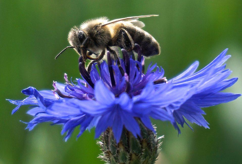Bleuet bleu mellifère abeille protection entretien jardinage planter arrosage Blog Delbard