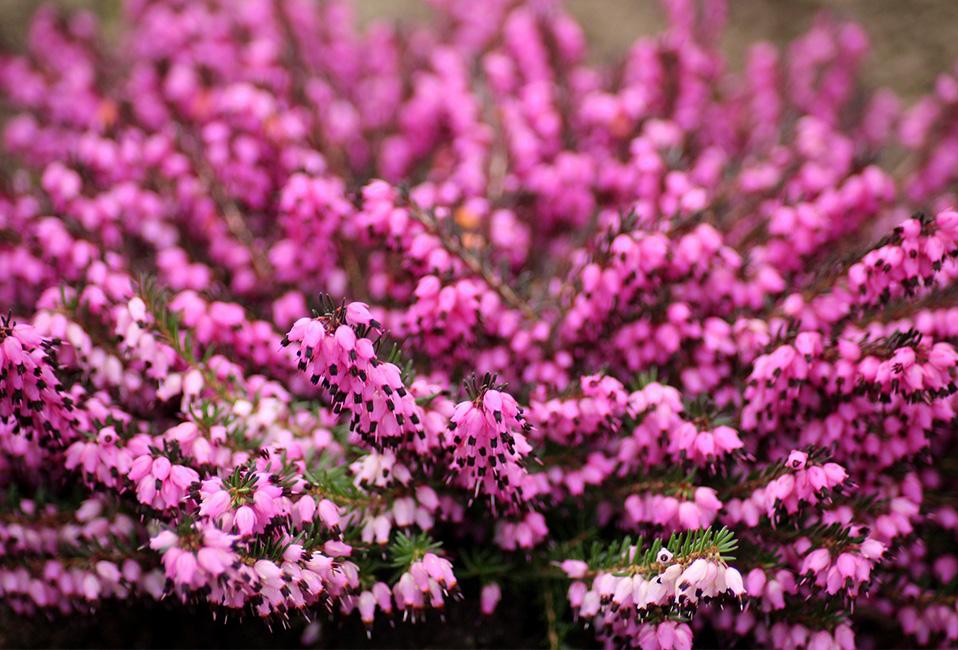 bruyeres automne hiver ete conseils astuces jardin pot plantation entretien violet blog delbard