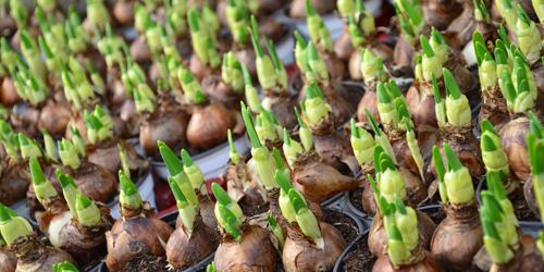 delbard jardin bulbes conseils