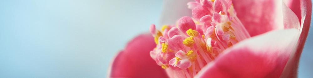 delbard camelia mars fleurs plante entretien