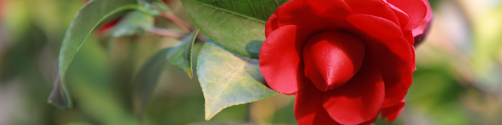 camelia delbard blog jardin plantation