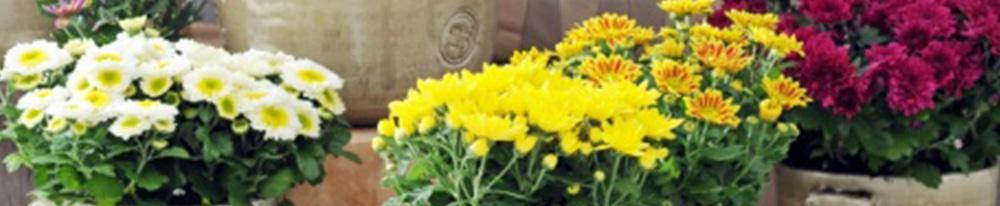 Chrysanthème fleurs plante pot jardin balcon terrasse soleil exposition terre feuillage arrosage soins Blog Delbard