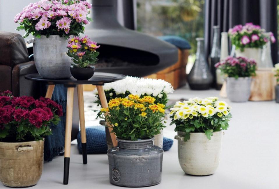 chrysantheme couleurs rose violet vert jaune blanc plantation entretien pot astuces jardin terreau blog plante blog delbard