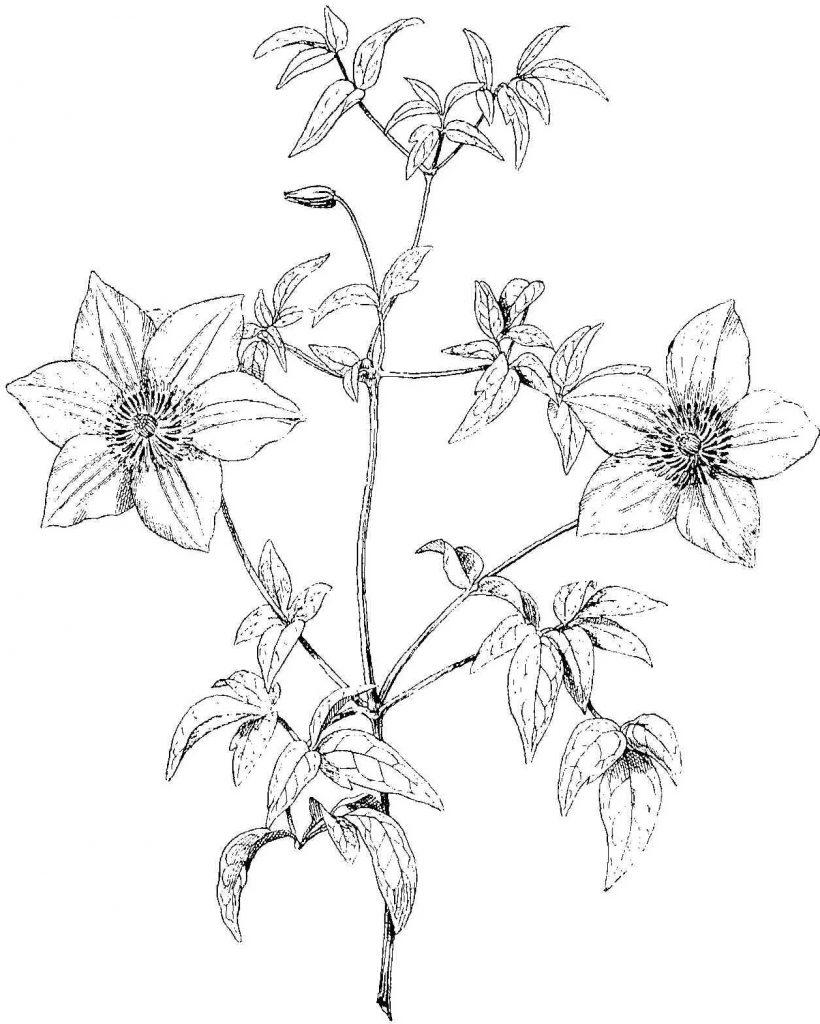 Clematite-jardin-conseil-plante-blog-delbard-jardin-jardinage-entretien