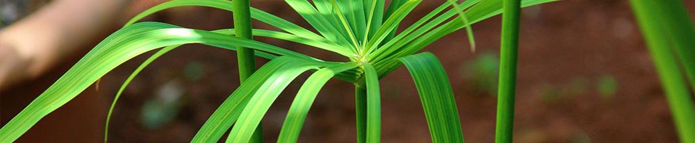 Cyperus conseil plantation entretien eau été chaleurs plante intérieur Blog Delbard