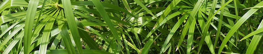Cyperus papyrus origine provenance localisation plante verte design Blog Delbard