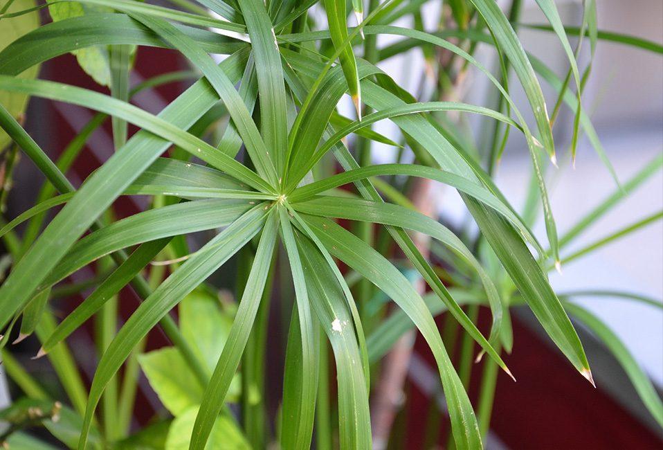 Cyperus papyrus jardinage plante entretien été feuillage floraison soin design Blog Delbard