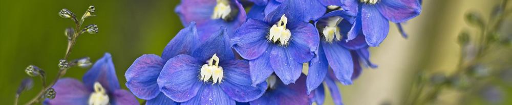 Delphinium bleu couleur origine pays histoire Blog Delbard