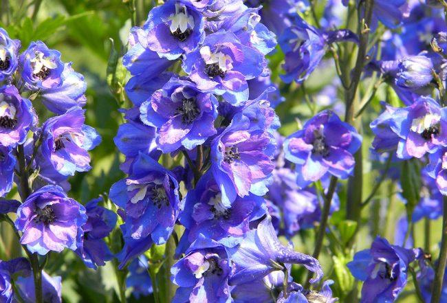 Delphinium bleu jardinage planter jardin saison entretien Blog Delbard