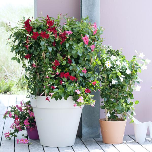 Jardin Blog Delbard plante dipladenia