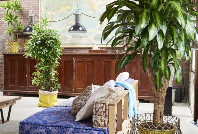 dracaena-plante-entretien-interieur-salon-blog-delbard