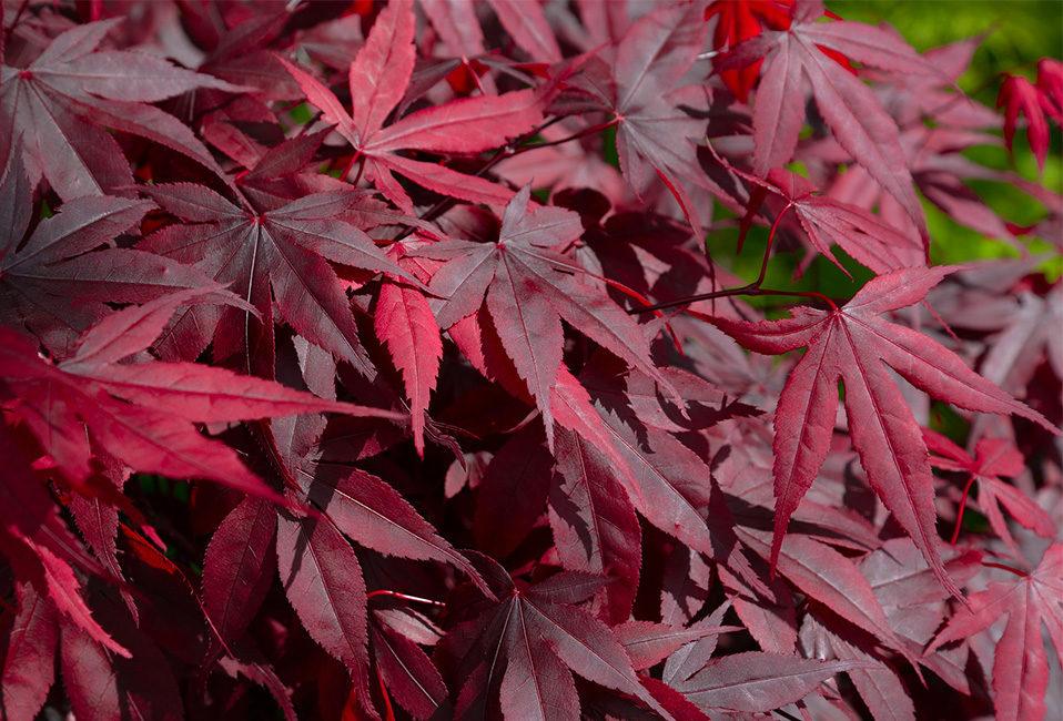 massif flamboyant réalisation travaux jardin arrosage étapes érable japon bruyère bambou senecio Blog Delbard