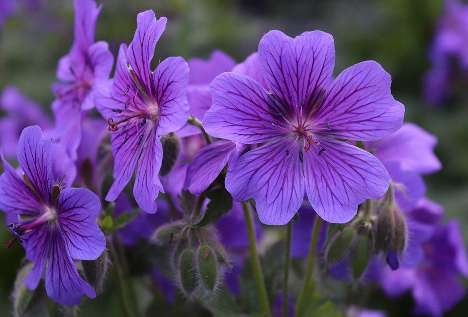 Géranium vivace plante fleurs Blog Delbard jardin histoire conseils