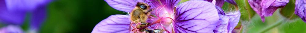 Géranium vivace plante jardin conseil entretien Blog Delbard couleurs floraison simple