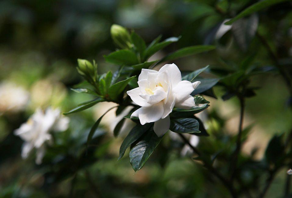 Gardenia jasminoide parfumée blanche plante intérieur conseils entretien plantation pot Blog Delbard