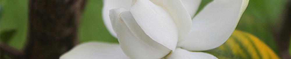 Gardenia blanc parfumée plantation intérieur pot jardin chaleurs arrosage Blog Delbard
