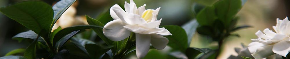 Gardenia jasminoide blanc vert pot plantation entretien chaleur arrosage eau Blog Delbard
