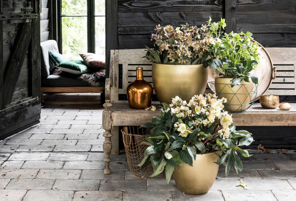 Hellebore entretien plante plantation blog végétal feuillage pot design intérieur Blog Delbard