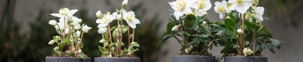 Hellebore variétés pot entretien feuillage Blog Delbard