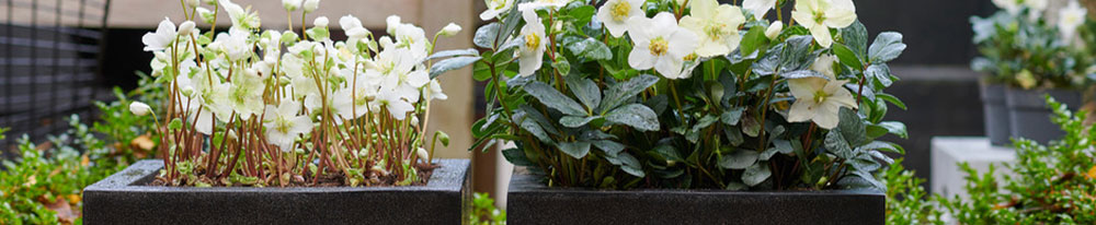 Hellebore hiver taille feuillage pot Blog Delbard