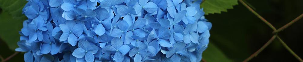 Hortensia bleu associer entretien Blog Delbard