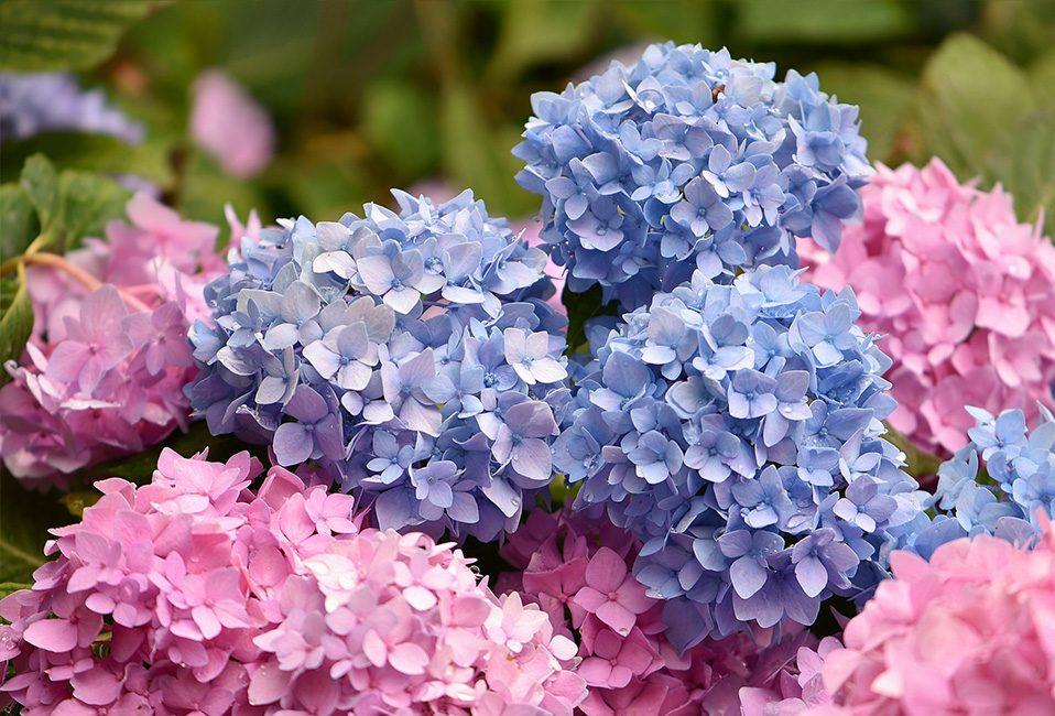 Hortensia plante jardin planter soin été juillet Blog Delbard