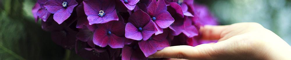 Hortensia fleurs soin planter jardin été entretien pot Blog Delbard