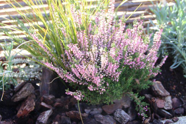 Cascade de bruyère-blog-delbard-jardin-conseils