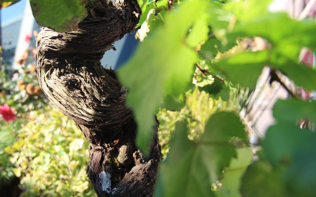 Pied Vigne Delbard Jardin Conseils