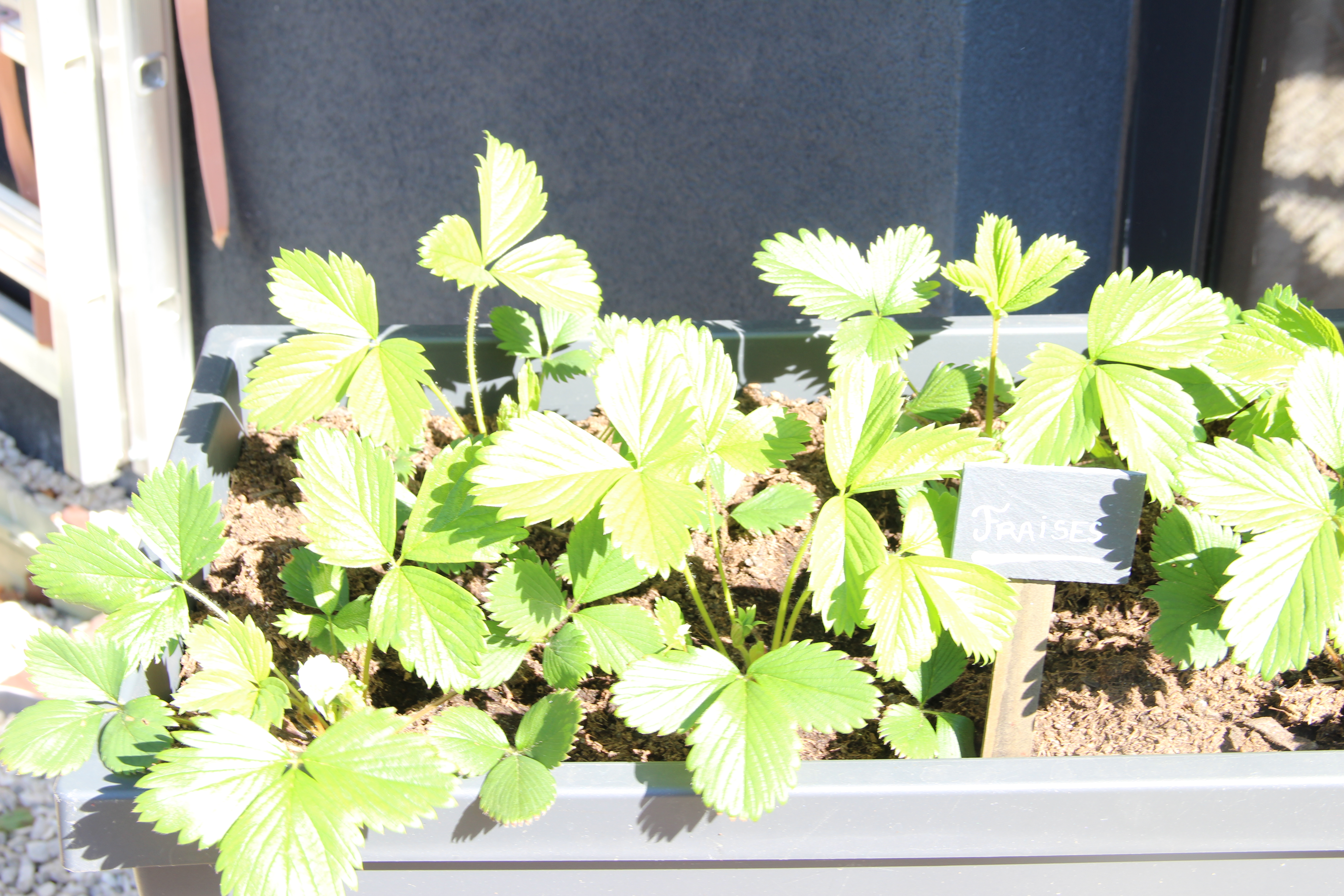 fraisiers-blog-delbard-jardin-potager