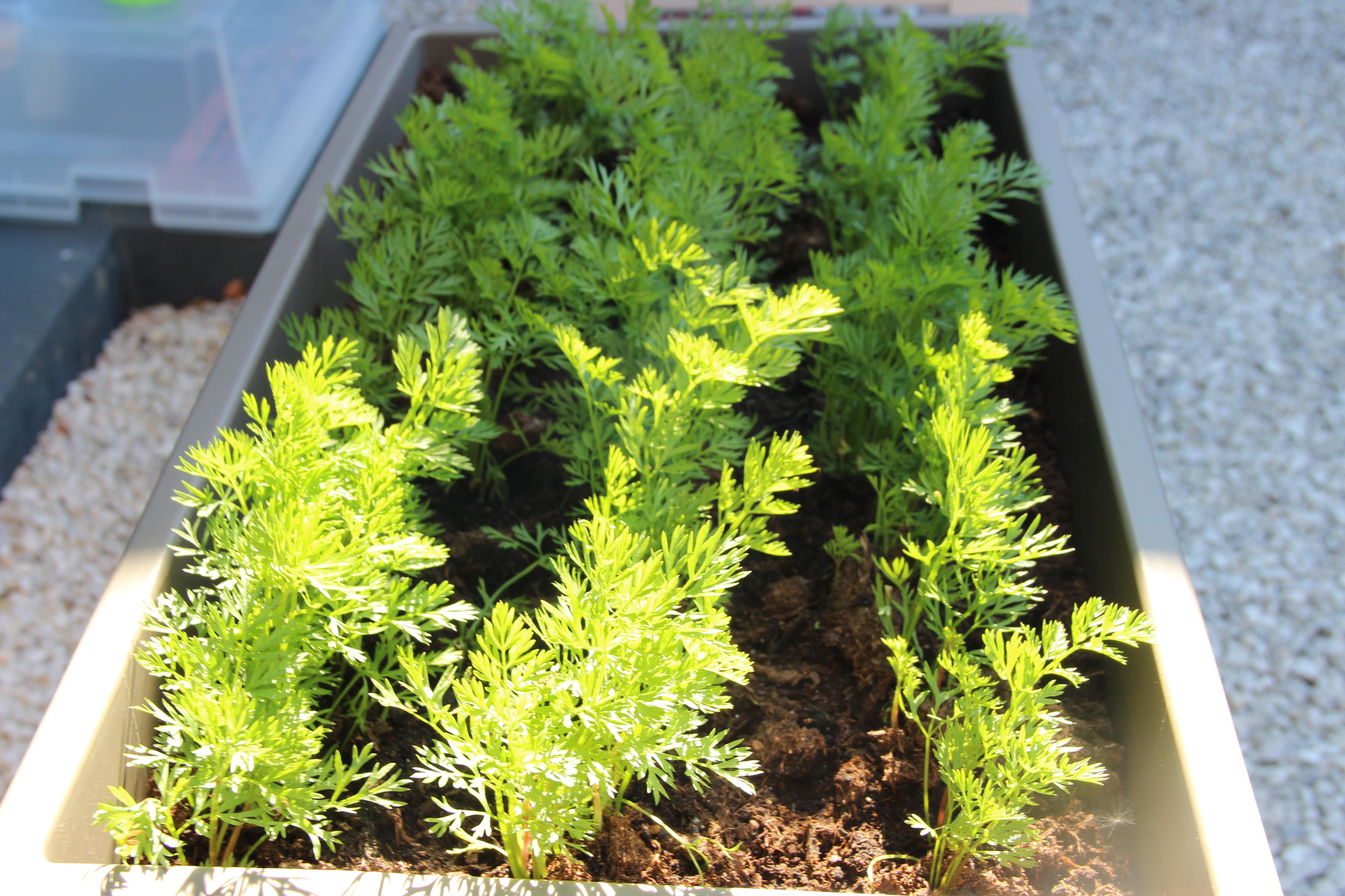 carottes-blog-delbard-jardin-potager