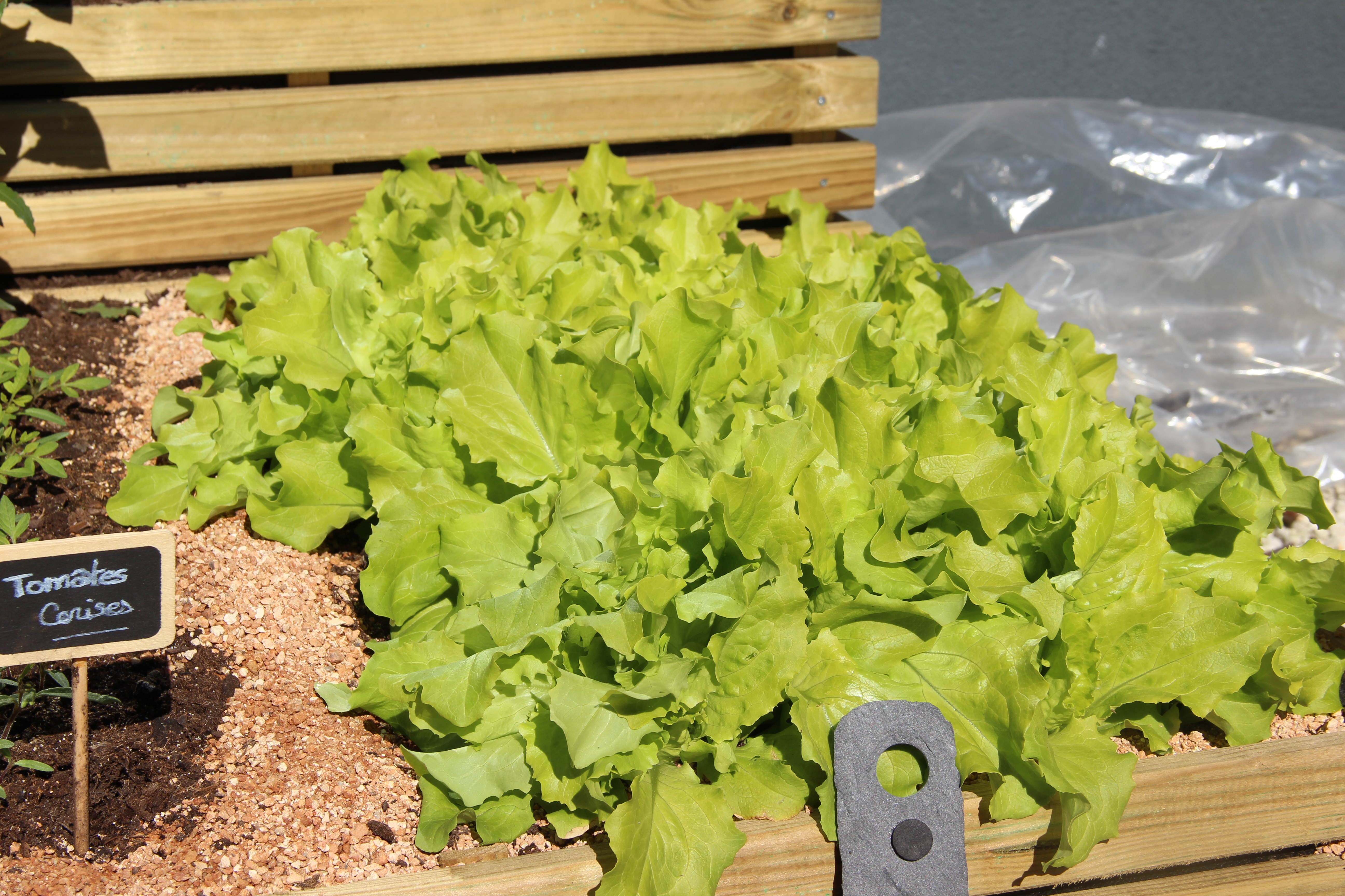 Salades-mon-potager-facile