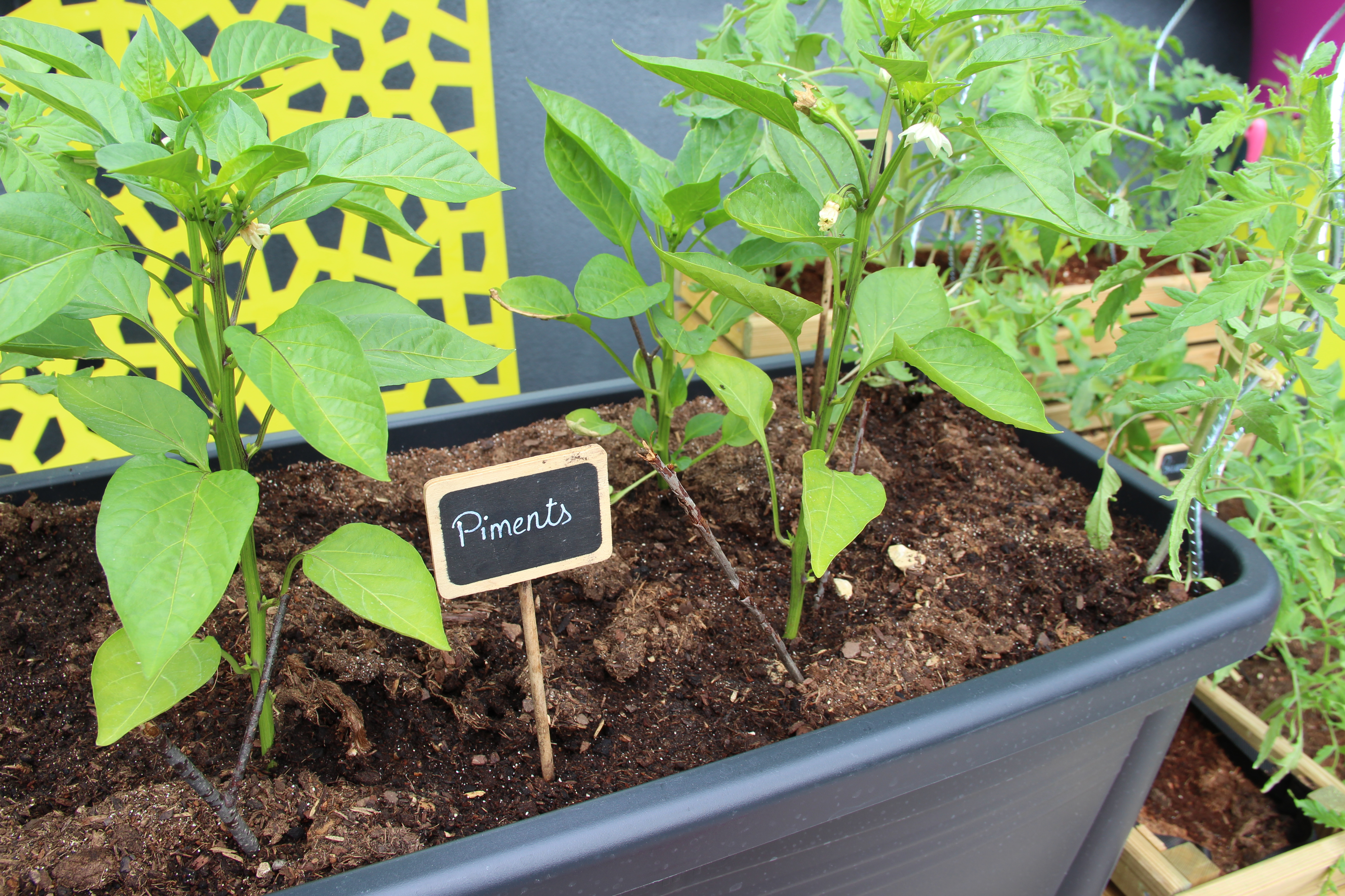 piments-blog-delbard-potager-facile