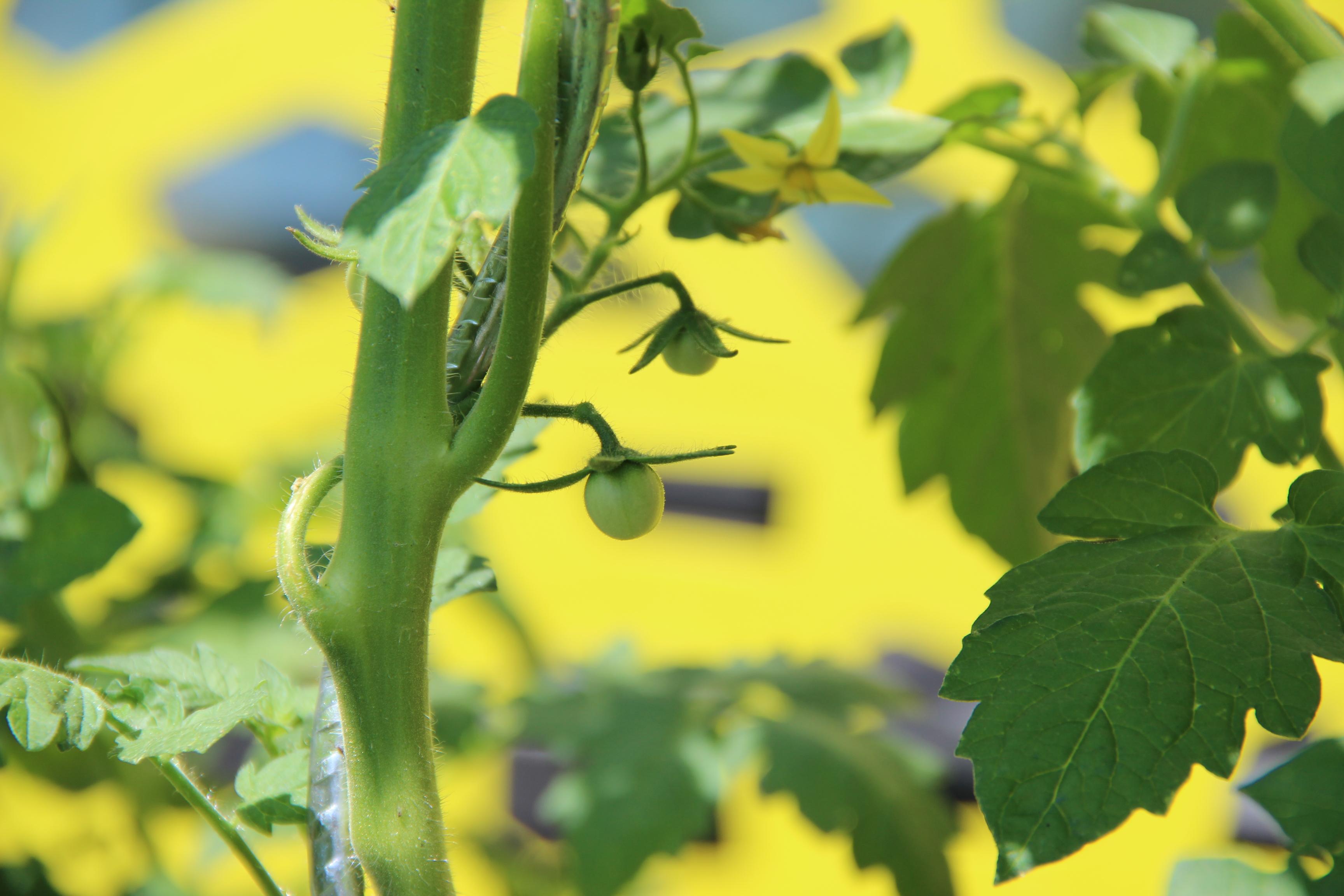 tomates-potager-blog-delbard-jardin