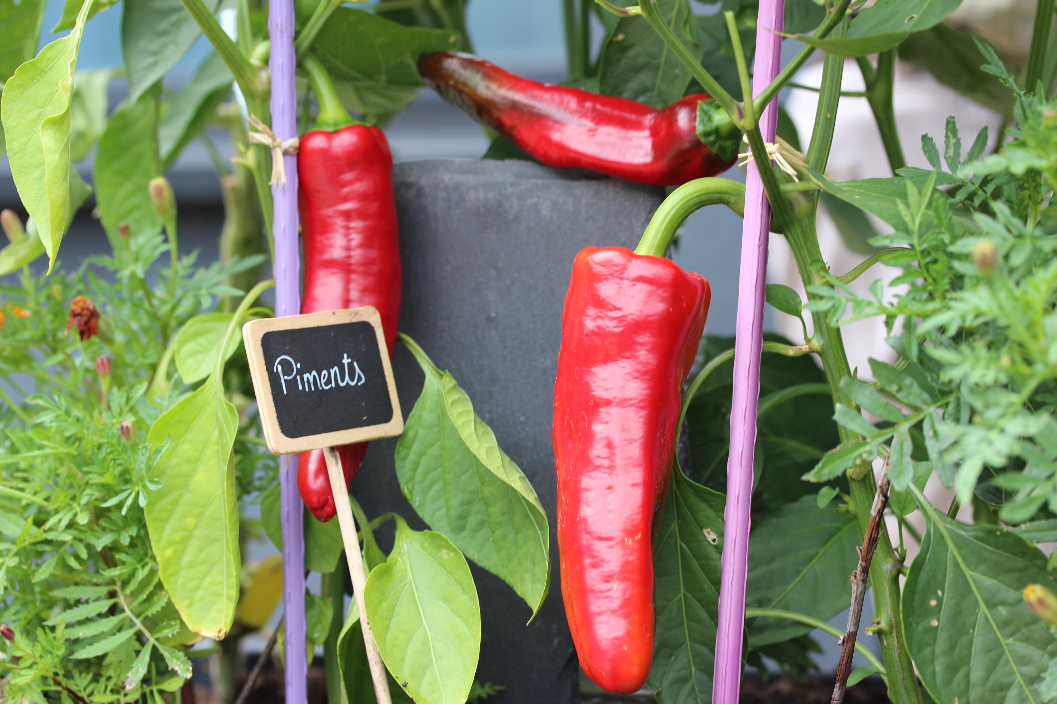 Piments-blog-delbard-jardin-potager