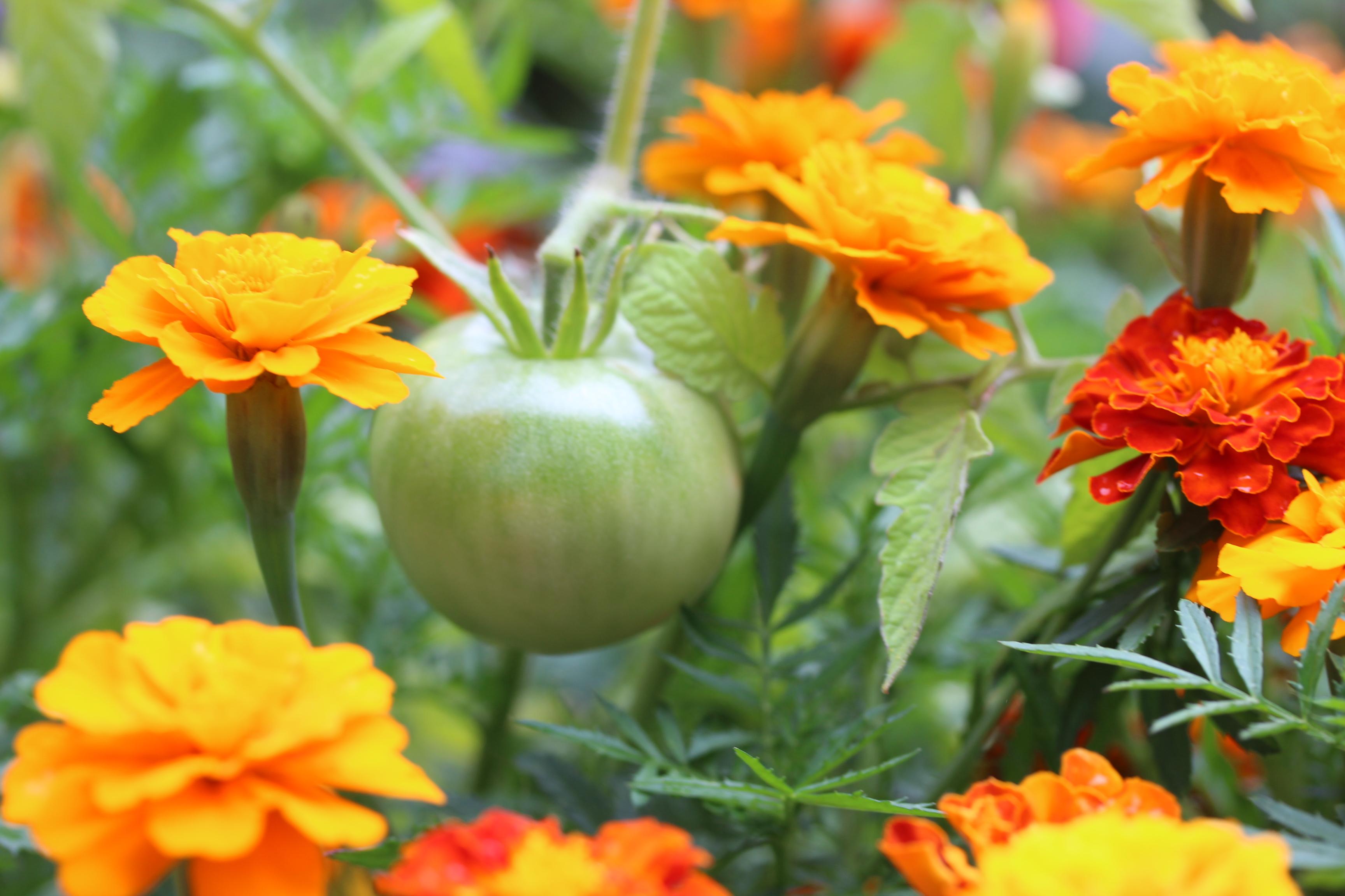 tomates-jardin-potager-blog-delbard