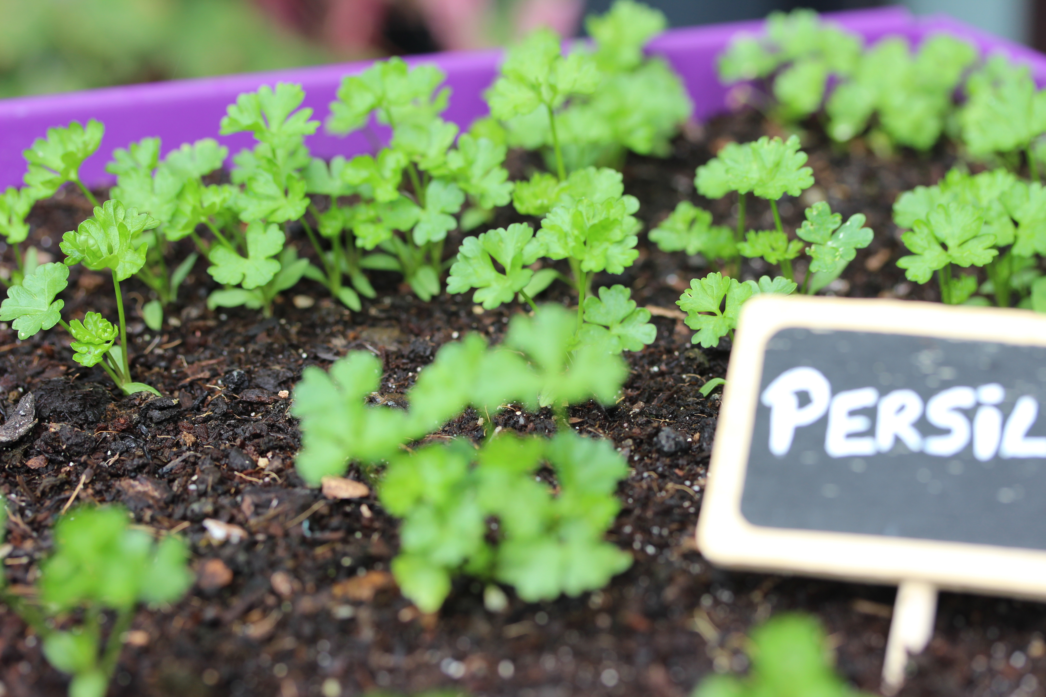 blog-delbard-jardin-persil-potager