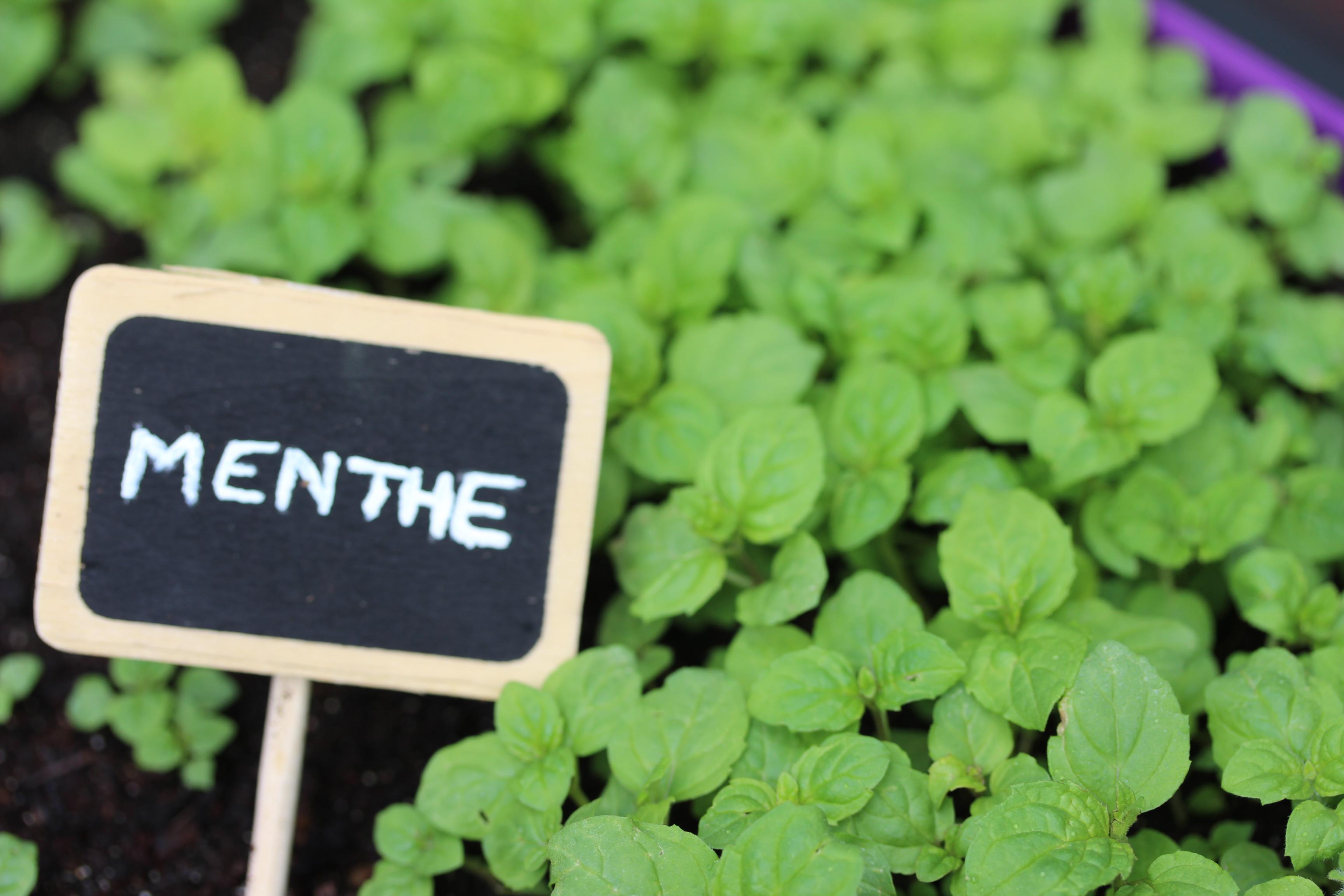menthe-delbard-jardin-potager-facile
