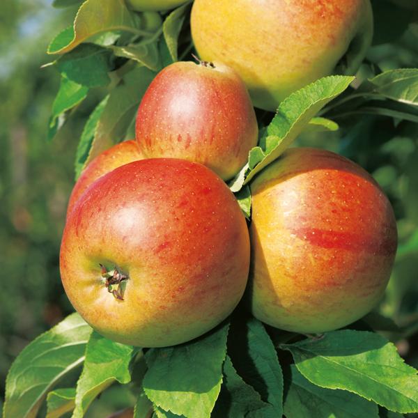 abricotier autofertile prêt a produire