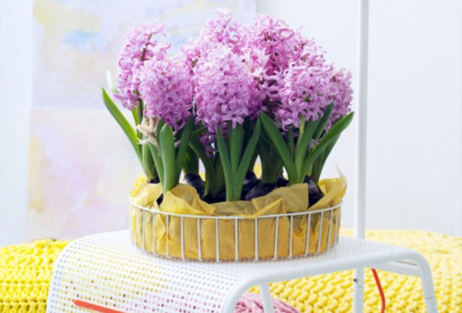 jacinthe design astuces conseils entretien plantation pot jardin plante blog delbard
