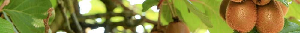 Fruit kiwi arbuste terreau plantation motte pot Blog Delbard