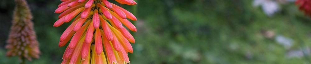 Kniphofia histoire soin arrosage saison planter jardinage conseils design Blog Delbard
