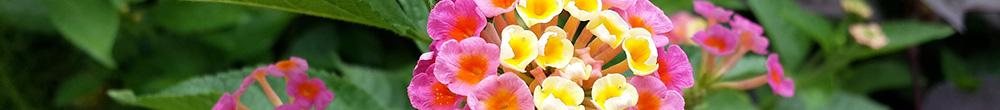 Plantation lantanier jardin delbard parfum