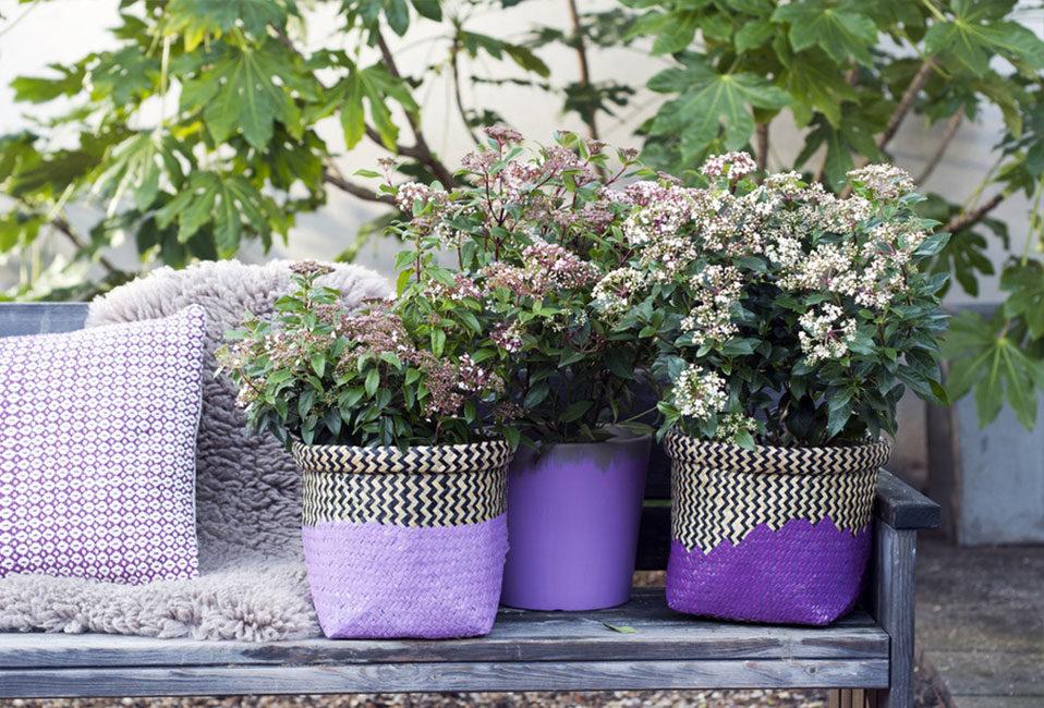 laurier tin plantation entretien haie massif soins taille pot jardiniere blog delbard