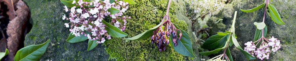 laurier tin plantation entretien jardin pot jardiniere terrasse arrosage