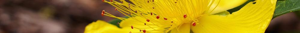Millepertuis jardin plantation saison couleur massifs Blog Delbard