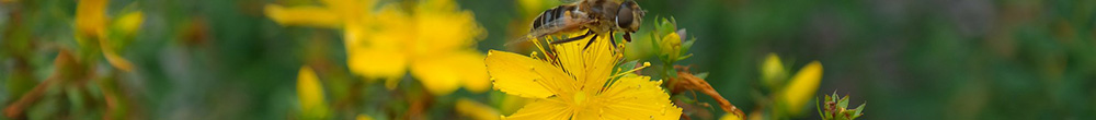 Millepertuis conseils mellifere plante jardin Blog Delbard